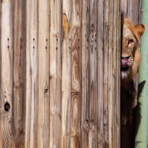 Löwe in der Dusche