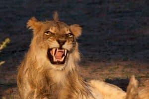 Löwe, Kalahari, KTP